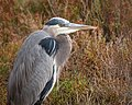 Great Blue Heron (38116093386).jpg