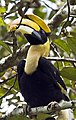 Great hornbill 2 by N A Nazeer.jpg