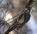 Great spotted woodpecker (50543764266).jpg