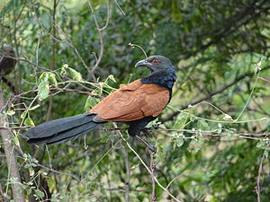 Greater coucal - Greater coucal in Perundurai