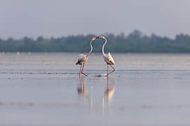Greater flamingos kissing.jpg
