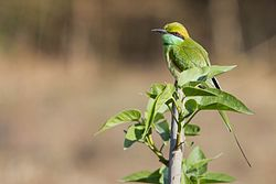 Green Bee Eater Solo.jpg