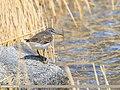 Green Sandpiper (Tringa ochropus) (33874901852).jpg