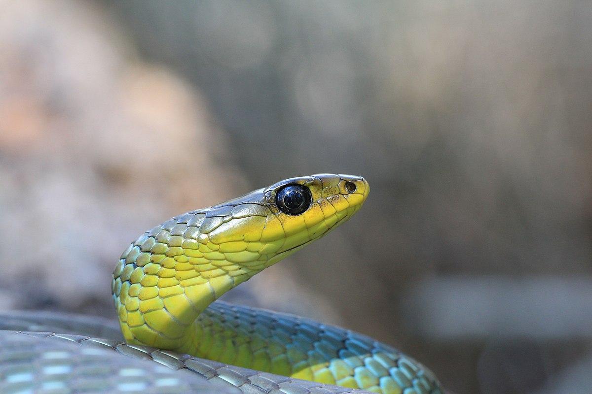 File Green Tree Snake Awabakal Reserve Jpg Wikimedia
