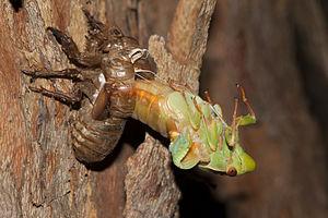 Cyclochila australasiae - A Green grocer cicada molting