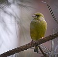 Greenfinch (31828541450).jpg