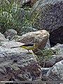 Grey Wagtail (Motacilla cinerea) (15892876001).jpg