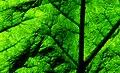 Gunnera tinctoria. Leaf. (15624500507).jpg