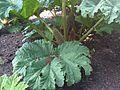 Gunnera tinctoria - Kew 2.jpg