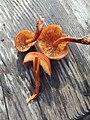 Gymnopilus croceoluteus Hesler 588349.jpg