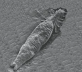 Gyrodactylus salaris.png