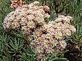 H20121108-5943—Eriogonum arborescens—RPBG (10716936875).jpg