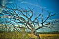 HDR Tree at Spruce Creek Park - panoramio.jpg