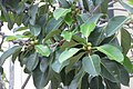 HKCL 香港中央圖書館 CWB tree green leaves 高山榕 Ficus altissima Oct-2017 IX1 02.jpg