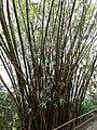 HK ML 半山區 Mid-levels 地利根德里 Tregunter Path bamboo green leaves February 2020 SS2 01.jpg