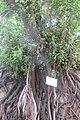 HK Mid-levels 堅道 Caine Road stone wall tree root banyan September 2019 IX2 12.jpg