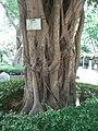 HK Sunday Wan Chai Park Ficus Microcarpa Chinese Banyan 1.JPG