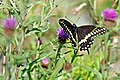 Halifax DSC08390 - Black Swallowtail (35495286054).jpg