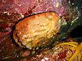 Haliotis rubra P2164044.JPG
