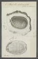 Haliotis tuberculata - - Print - Iconographia Zoologica - Special Collections University of Amsterdam - UBAINV0274 081 14 0006.tif