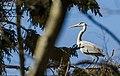 Hallhaigur - Grey Heron - Ardea Cinerea (1).jpg
