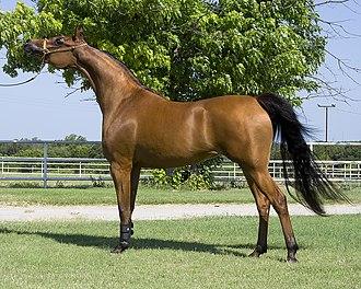 Arabian horse - An Arabian mare