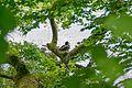Hamburg-Volksdorfer Teichwiesen-Ente in Baum-2016 05-0036.jpg
