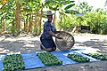 Harvest of peppers at a SOIL experimental garden.jpg