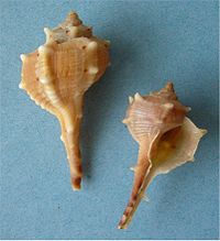 Two shells of Bolinus brandaris, the spiny dye-murex, a source of the dye