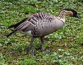 Hawaiian Goose (6088426917).jpg