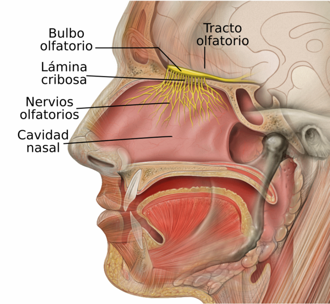 File:Head Olfactory Nerve Labeled-es.png