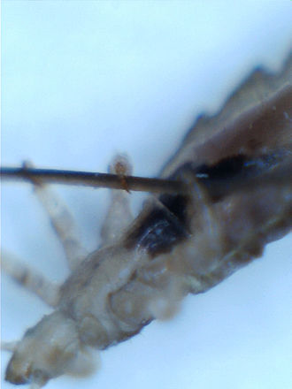 Head louse - Head louse gripping a human hair