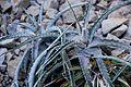 Hechtia marnier-lapostollei in Tropengewächshäuser des Botanischen Gartens.jpg