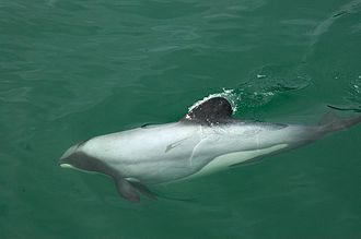 Cetacean bycatch - Hector's dolphins have a unique rounded dorsal fin.