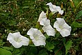 Hedge bindweed - geograph.org.uk - 191620.jpg