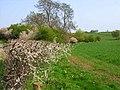 Hedgerow along Bishopton Beck - geograph.org.uk - 167539.jpg