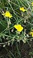Helianthemum nummularium subsp. obscurum sl4.jpg