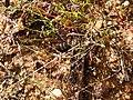 Heliophila pinnata gifberg 02.jpg