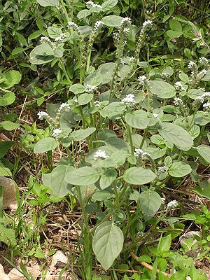 Heliotropium - European heliotrope (Heliotropium europaeum)