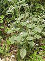 Heliotropium europaeum 2004-10-xx-p1010074.jpg