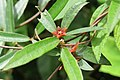 Hemidesmus indicus at Beechanahalli 2014 (2).jpg