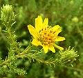 Hemizonia minthornii 3.jpg