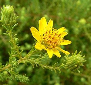 Santa Susana Tarweed, Hemizonia minthornii, vu...