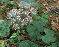 Heracleum sphondylium ssp. sphondylium PID1946-1.jpg
