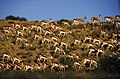 Herd of Springbok - South Africa (2417718003).jpg