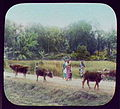 Herd of water buffalo LCCN2004707621.jpg