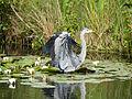 Heron, arriving (14357547376).jpg