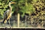 Heron - British Wildlife Centre (19304842631).jpg