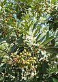 Heteromeles arbutifolia 'Davis Gold' kz3.jpg