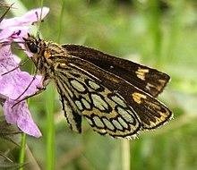 Miroir papillon wikip dia for Miroir noir wiki